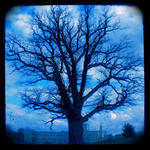 The blue oaktree