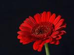 En enkel liten blomma