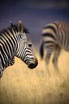 Zebra 360
