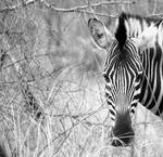 Ögonkontakt, Kruger National Park Sydafrika