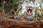 Jaguaren Jorges tunga
