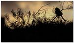 Ökenvarfågel i skymning