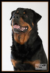 Rottweilern: BOZZ_1