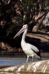 Australiensisk Pelikan