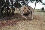 jagad av lejon