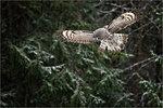 Lappuggla på breda vingar