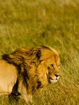 Kungen av savannen
