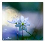Ljusets blomma