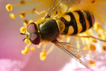 Blomfluga ovan