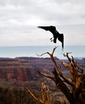 Canyon crow