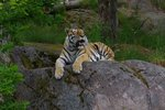 Tiger # 1