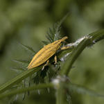 LIXUS PARAPLECTICUS