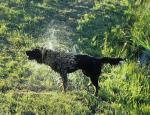 Hundcentrifug, Ramsåsa