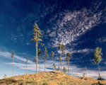 Gles skog