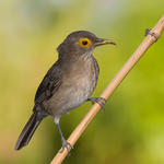 Bare-eyed_Thrush -4081