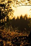 Skymningsljus i skogen
