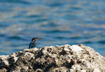 Kungsfiskare på Karpathos
