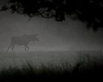 Tjuren i dimman