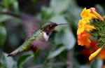Vulcano Hummingbird male
