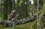 Sparvuggleunge i gammelskogen.
