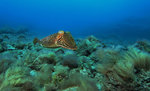 cuttlefish