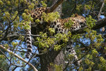 Amurleopard