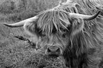 Highland Cattle i svartvitt