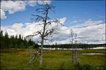 Torrt träd