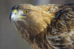Porträtt Golden Eagle