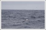 Vandringsalbatross och brokpetrell