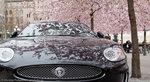 Jaguar i blom - 1