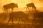 Golden dust of Africa!