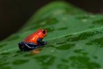 Blue jeans frog