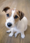 Jack Russel