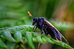 Birch Sawfly (Cimbex femoratus)