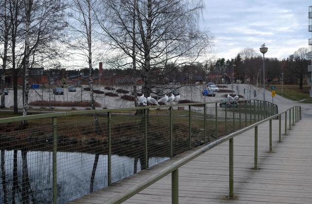 P1040527 Skrattmåsar på bron över Bottenån