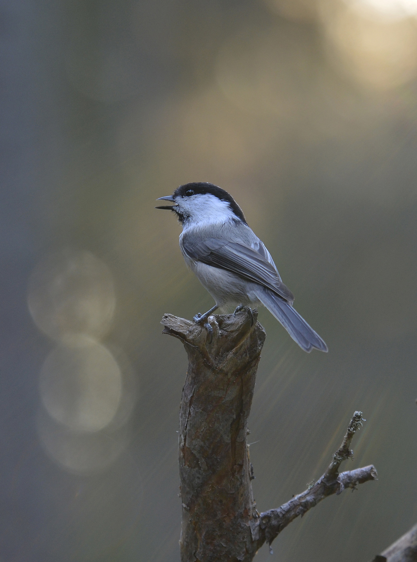 vanliga småfåglar