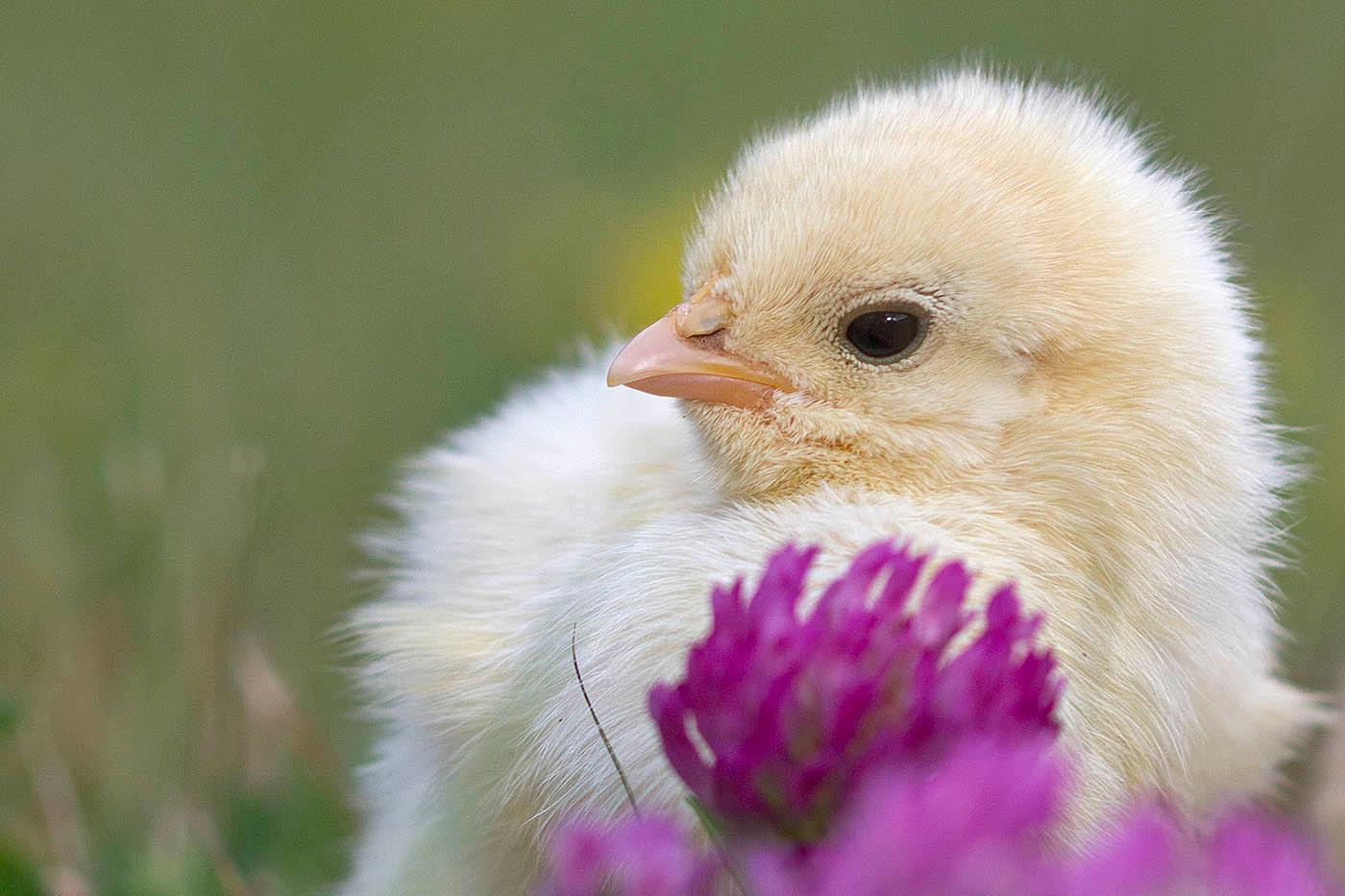 kycklingar tar stora tuppar Varför lesbiska som gay Porr