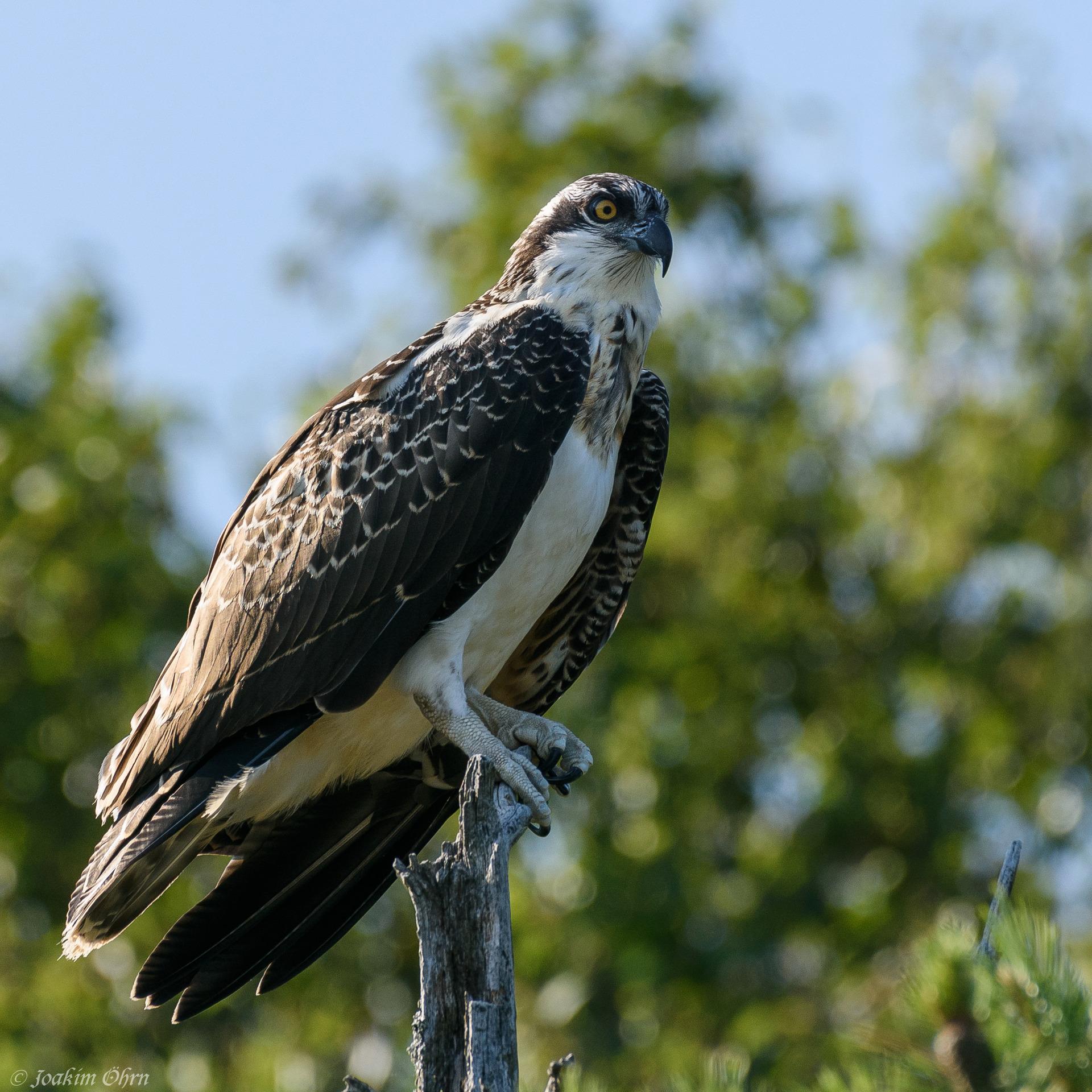 fåglar kulle hastighet dating