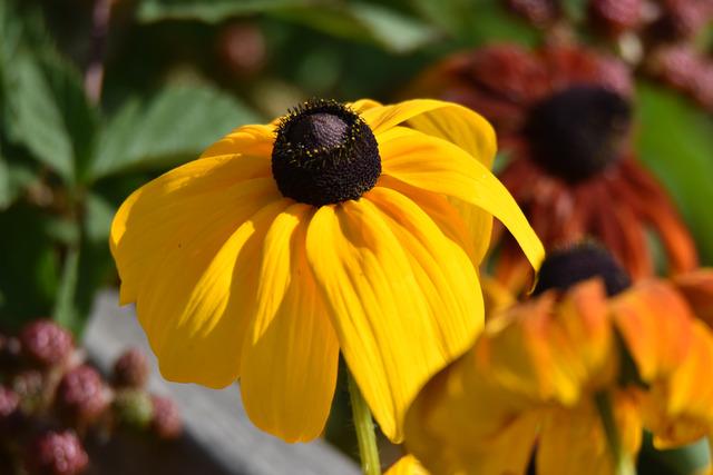 DSC_1532 En rudbeckia som fortfarande lyser intensivt gul