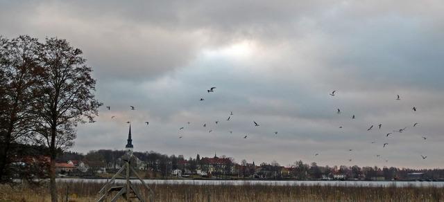 P1040503 Skrattmåsar över Lindesjön