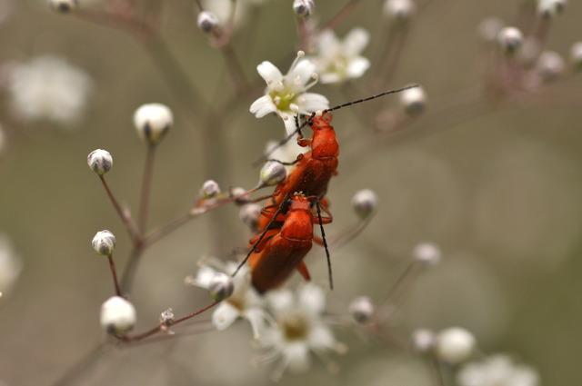 Ett par baggar som påminner om Kardinalbaggar på en Brudslöja 2011