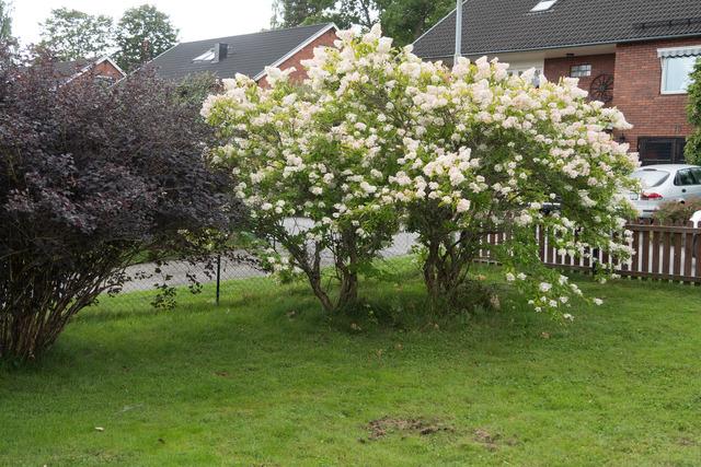 P1010782 Syrenhortensian i minträdgård