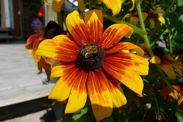 P1050282 Ett bi söker efter något ätbart på en Rudbeckia