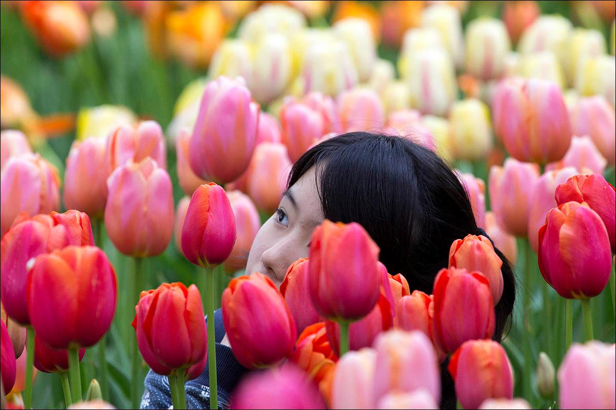 när blommar tulpanerna i amsterdam