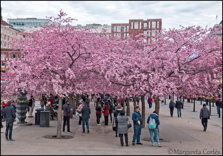 Cherry blommor dating redan medlem
