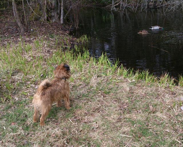 Dennis tittar på änderna i vår skogsdamm våren 2016DSC_0421