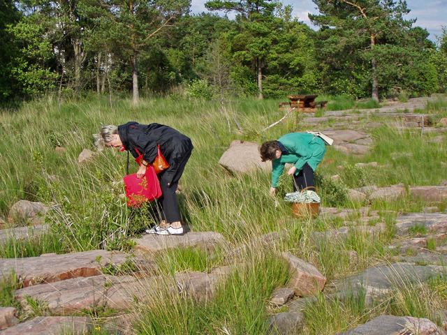 Lena och Inga-Lill plockar Pors som växte vid stranden