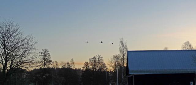 P1040480 Sångsvanar som lyft från Lindesjön 06 55 30 mars 2017