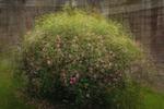 Små, små rosor vid timmerväggen